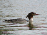 Common Merganser female 12a.jpg