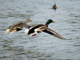 Mallard pair in flight 1a.jpg