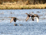 Gadwalls in flight 1a.jpg