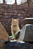 Even cats are red in Abyaneh!