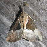 Hypena bijugalis - 8443 - Dimorphic Bomolocha
