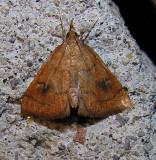 Fumibotys fumalis - 4950 - Mint Root Borer Moth