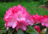 Fantastica - rhododendron