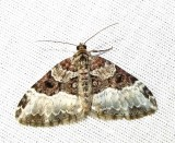 Epirrhoe alternata (Mueller) - 7394E - White-banded Toothed Carpet