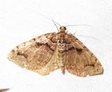 Anticlea vasiliata - 7329 - Variable Carpet Moth