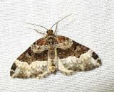 Euphyia intermediata  - 7399a - Sharp-angled Carpet Moth
