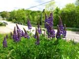 lupines-28-05-2010-1.jpg