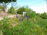 lupines-29-05-2010-3.jpg