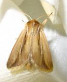 Dargida diffusa - 10431 - Wheat Head Armyworm Moth
