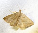 Zanclognatha pedipilalis - 8348 - Grayish Zanclognatha