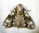 Acronicta superans - 9226 - Splendid Dagger Moth - view 2