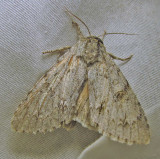 Acronicta americana - 9200 - American Dagger Moth - view 2