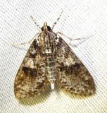 Palpita magniferalis - 5226 - Splendid Palpita