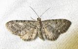 Eupithecia russeliata - (probable) - 7526