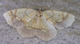 Nematocampa resistaria - 7009 - Horned Spanworm Moth