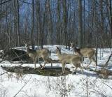 White-tailed Deer trio - Odocoileus virginianus