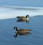 Canada Geese (Branta canadensis) - view 1