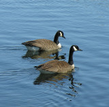 Canada Geese (Branta canadensis) - view 2