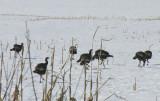 Wild Turkeys (Meleagris gallopavo) in cornfield - view 2