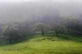 Oaks in Fog
