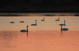 Seven Swans Aswimming
