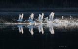 Swans' Ballet