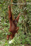 Orangutan : mother and baby