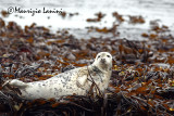 Foca grigia , Grey seal