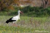 Cicogna bianca , White stork