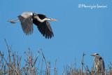 Aironi cenerini , Grey herons