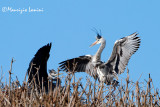 Aironi cenerini al nido , Grey herons at nest