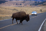 Roosevelt Country, bison at Lamar Valley