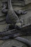 Marine iguanas, Egas Port, Santiago Island