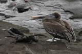 Marine iguanas and pelican, Egas Port, Santiago Island