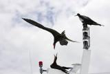 Frigatebird war game