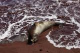 Sea lion, Rabida Island