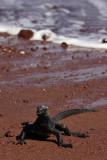 Marine iguana, Rabida Island