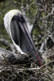 Pelican, Rabida Island
