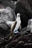 Blue-footed booby, Rabida Island