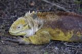 Land Iguana, Santa Cruz Island