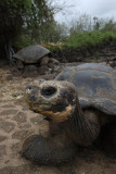 Giant Tortoise, Charles Darwin Research Station
