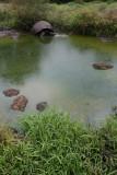 Giant Tortoise, Santa Rosa Farm, Santa Cruz Island