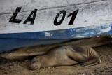 young sea wolf, Floreana Island