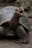 Giant Tortoise, Floreana Island
