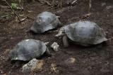 Giant Tortoises, Floreana Island