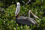 Pelican, Puerto Ayora, Santa Cruz