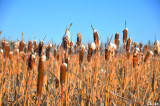 Cat Tails HDR