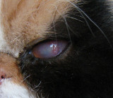 Corneal ulcer in cat eye 1/7/10