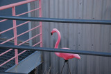 A PAST VISITOR FROM THE UNIVERSITY OF WISCONSIN LEFT ONE OF THOSE FAMOUS FLAMINGOS AT THE SARA TELESCOPE