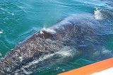 THIS WAS OUR FIRST LOOK OF A GREY WHALE CLOSE UP-MY GOD THEY ARE HUGE AND BEAUTIFUL